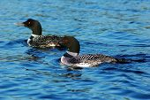 foto of loon  - Common loon in blue water of north lake - JPG