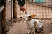 Boy Hand Feed Rabbit Cabbage. Contact Zoo With Farm Animals Is Useful For Children. The Cage For Far poster