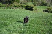 Border Collie Herd Dog Running Away In A Grass Field. poster