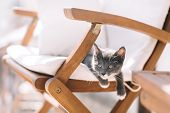 Playful Small Gray Kitten With White Feet Hanging From Armchair And Looking Into The Distance. Raisi poster