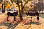 Pair Of Donkeys Tied To A Tree In Park, Autumn Scenery poster