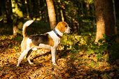 The Beagle Dog In Sunny Autumn Forest. Alerted Hound Searching For Scent And Listening To The Woods  poster