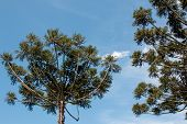 The Endangered Brazilian Pine Tree Known As The Araucaria Also Found In Parts Of Argentina And Parag poster