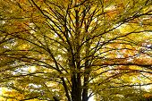 Oak tree in autumn time view from bottom poster