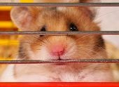 stock photo of gerbil  - Little hamster sitting inside a Cage - JPG