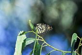 pic of cocoon tree  - A Single Monarch Butterfly eating a Leaf in a Tree - JPG