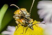 picture of animals sex reproduction  - Macro Photo Of Two Blister Beetles Mating - JPG