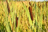 picture of bulrushes  - Bulrush plants in the swamp, in a summer ** Note: Shallow depth of field - JPG