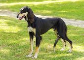 picture of greyhounds  - A side view of a healthy beautiful grizzle black and tan Saluki standing on the lawn looking happy and cheerful - JPG