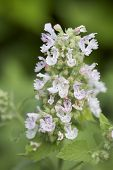 image of catnip  - A close up shot of a catnip bloom.