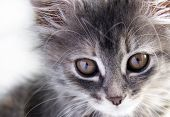 picture of puss  - Portrait of a grey striped cute kitten - JPG