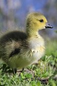 image of baby goose  - Baby Canada Goose  - JPG