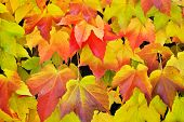 Virginia Creeper In Autumn Colors