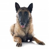 pic of belgian shepherd  - belgian shepherd in front of white background - JPG