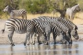 Herd Of Plains Zebra (equus Burchellii) Drinking In South Africa