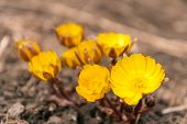 picture of adonis  - First yellow flowers Adonis in the early spring