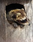 Raccoon In A Tree Hollow