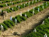 vegetable beds with plastic bottles as small hothouses among growing wheat as green manure