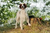 pic of snipe  - Irish red and white setter near to trophies horizontal outdoors - JPG