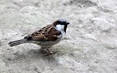 Sparrow On Ground