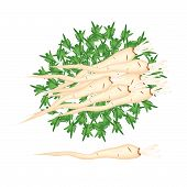 picture of parsnips  - Vegetable and Herb An Illustration Stack of Fresh Parsley or Parsnip with Root on Leaves Used for Seasoning in Cooking - JPG