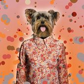 Yorkshire terrier wearing a shirt, spotted background