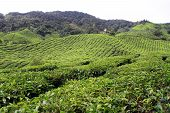 stock photo of cameron highland  - Tea plantation in Cameron Highlands in Malaysia  - JPG