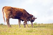Mother cow with newborn baby calf in the countryside
