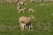 image of alfalfa  - a closeup of lambs feeding from a ewe in a alfalfa pasture - JPG