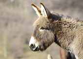 picture of headstrong  - Old grey donkey at farm in spring - JPG