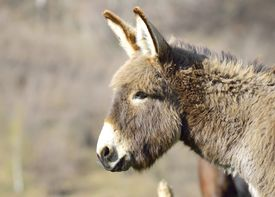 foto of headstrong  - Old grey donkey at farm in spring - JPG