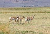 stock photo of alfalfa  - Herd of North American Pronghorn  - JPG