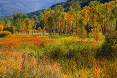 image of cottonwood  - Aspen and cottonwood trees in Colorado - JPG