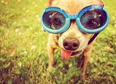 foto of pink eyes  - a cute chihuahua wearing goggles in the grass with his tongue out toned with a retro vintage instagram filter effect  - JPG