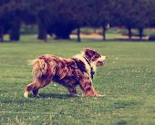 pic of cattle dog  -  a cute dog in the grass at a park during summer toned with a retro vintage instagram filter effect - JPG