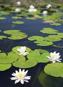 stock photo of water lily  - summer lake with water - JPG