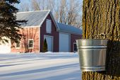 stock photo of tapping  - Tapping maple trees for their sap in the Spring.