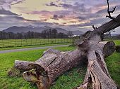 picture of irish moss  - Old fallen tree on the ground with mountains and Lough Leane Lake in behind - JPG