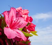 stock photo of azalea  - Pink azalea bloom with more behind and a sky with clouds - JPG