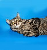 image of blue tabby  - Tabby nice cat lying on blue background - JPG