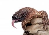 picture of venom  - Venomous Beaded lizard - JPG