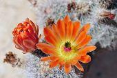 picture of cactus  - Many beautiful orange cactus flowers on a cactus - JPG