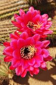 pic of desert christmas  - Pink blossoming flowers on a cactus in the desert - JPG