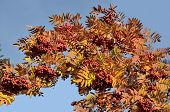 stock photo of mountain-ash  - Bright golden autumn leaves and red berries of mountain ash  - JPG
