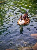 stock photo of duck pond  - Female mallard duck swimming in a pond in Morocco - JPG