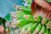 stock photo of banana tree  - Green banana trees and fruits. Bananas on branch in garden.