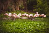 foto of pink flamingos  - Pink flamingos crowd standing against green background