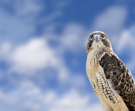 foto of hawk  - Close up of a Red Tailed Hawk with a beautiful blue cloudy sky background - JPG