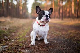 stock photo of bulldog  - French bulldog on the walk in forest  - JPG