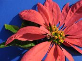 foto of poinsettias  - The red petals of the poinsettia flower look quite dramatic against a blue background. ** Note: Soft Focus at 100%, best at smaller sizes - JPG